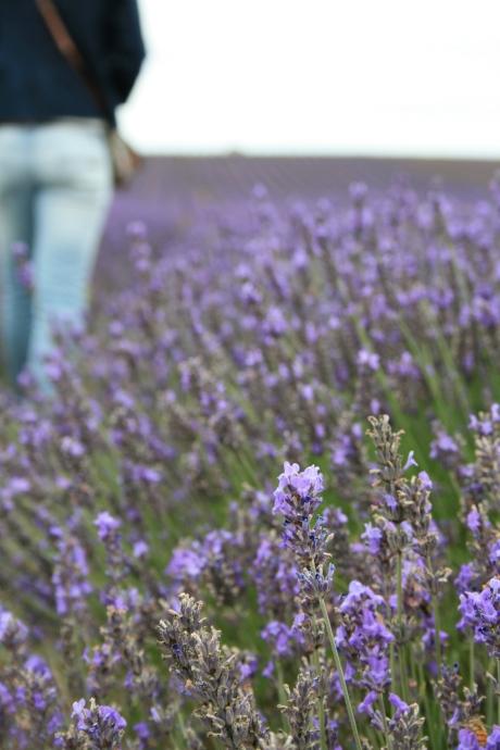 Walking through Fields of Lavender