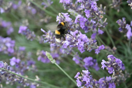 A bee in lavender