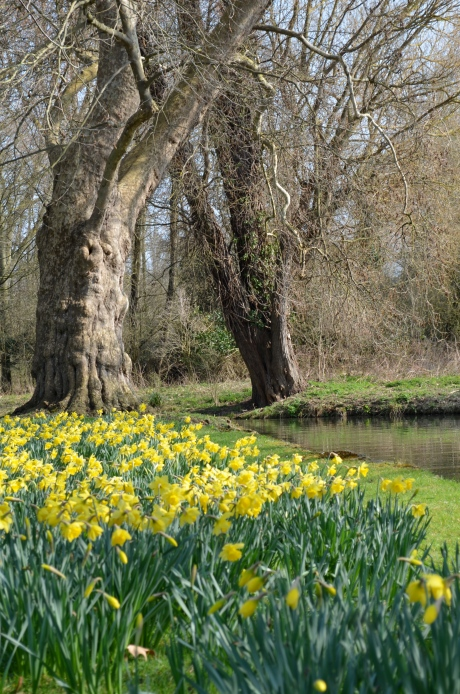 Daffodils on the river