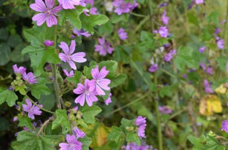 Purple Roadside Flowers